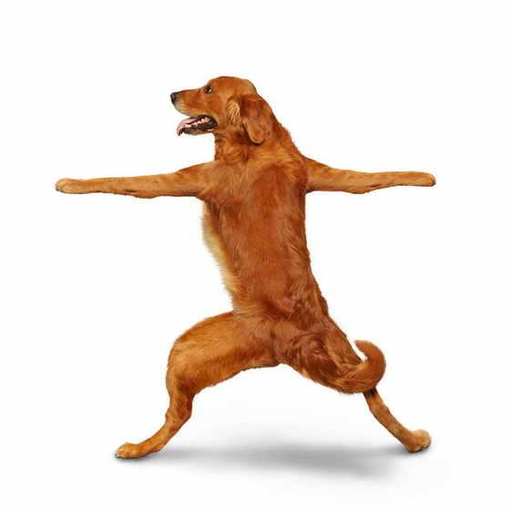 Собачка Duke демонстрирует позу война 2
