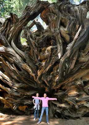 На фото дети позируют возле корней гигантской секвойи в Национальном парке секвойи в Центральной Калифорнии