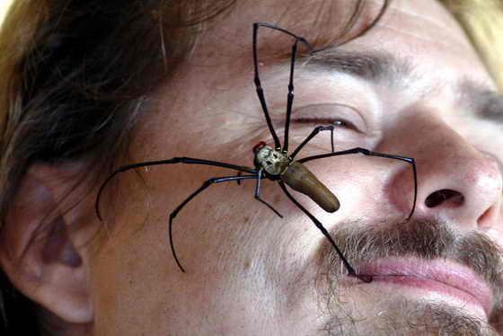 Огромный Золотой паук полает по лицу смотрителя Сиднейского парка Дикой жизни Sydney Wildlife World. Парк проводит опрос: какие животные больше пугают людей, змеи или пауки