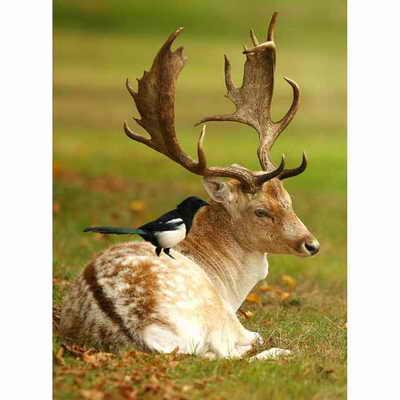 Сорока сидит на рогах оленя
