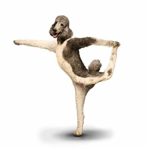 Собачка Paris показывает нам позу Natarajasana или Lord Of The Dance