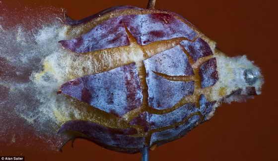 Гидростатический шок: слива оказалось отличной мишенью для подчеркивая контраста пурпурной кожуры и желтой мякоти