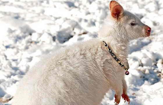 Болотный валлаби-альбинос Millie ходит с ошейником и колокольчиком, чтобы ее хозяин Стивен Роулендс мог ее заметить на снегу