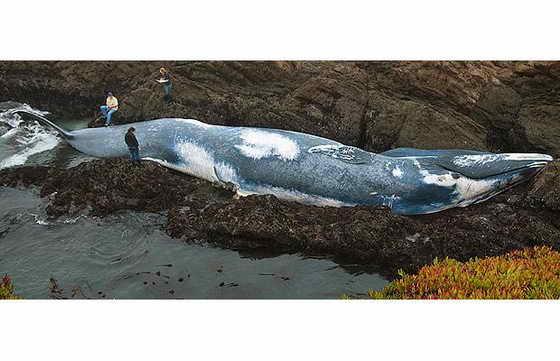 21-метровая самка голубого кита была выброшена на берег в Северной Калифорнии. Власти считают, что самку кита задел корабль.