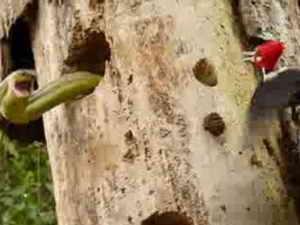 Схватка змеи и дятла