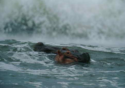 Океанские бегемоты в Габоне