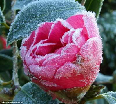 Потрясающая роза, покрытая изморозью, в саду слепого фотографа Brian Negus