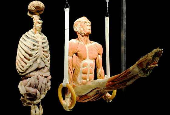 """Пластиковый """"Гимнаст на кольцах"""" весит на выставке """"Мир тела"""" в Сингапуре"""