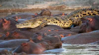 Бегемоты разрывают крокодила