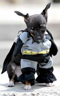 Собака одета в костюме Человека Летучей Мыши (Batman) на фестивале домашних животных в городе Кали, Колумбия