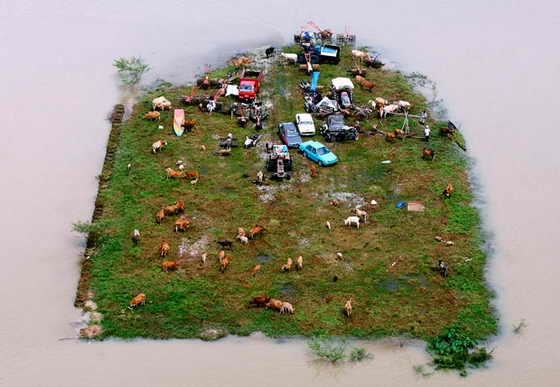 Коровы и транспортные средства, оказавшиеся из-за сильного наводнения на небольшом участке земли, окруженном водой в Jeram Perdas, Малайзия