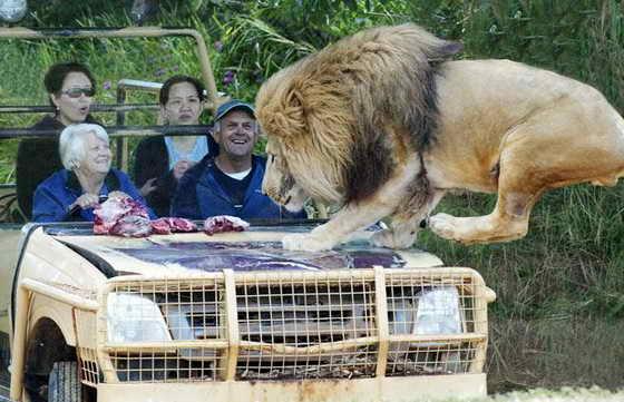Лев прыгает на капот автомобиля