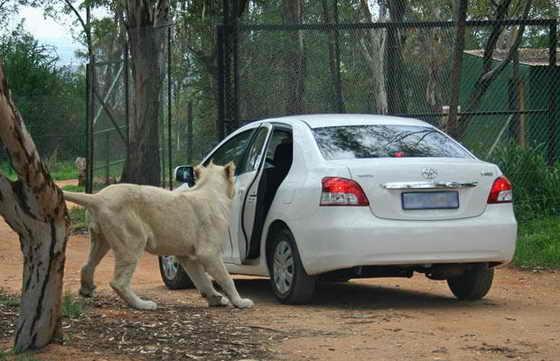 Лев открыл зубами заднюю дверь автомобиля в сафари-парке близ Йоханнесбурга, Южная Африка. Водителю удалось уехать невредимым