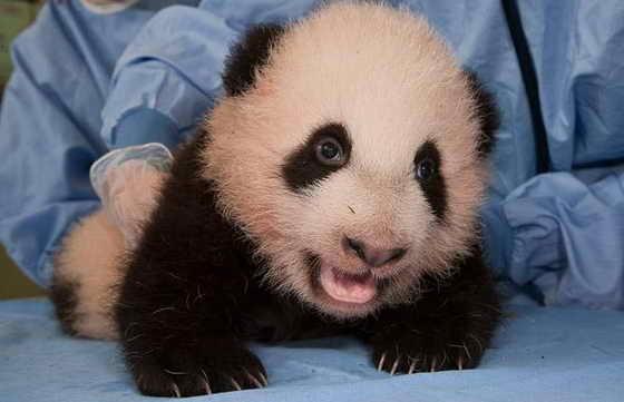 Детеныш большой панды