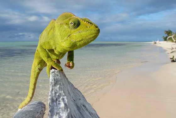Хамелеон (Furcifer oustaleti) сидит прибившемуся к берегу куску дерева в Нози Анако, Мадагаскар. Хамелеон считается исчезающим видом, несмотря на свою многочисленность на Мадагаскаре