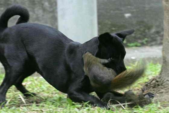 Видно собаке пришлось не сладко: белка усердно орудует зубами и когтями во имя спасения отпрыска