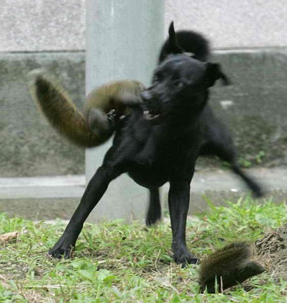 Собака рычыт от боли и пытается отбиться, но у животного нет шансов вернуться к своей жертве, теперь бельчонок в безопасности
