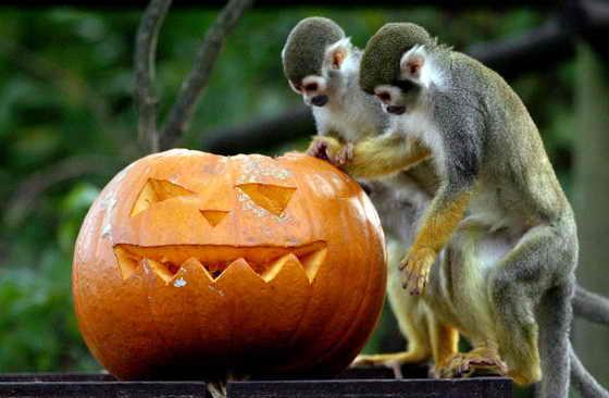В Бристольском зоопарке беличьи обезьяны (саймири) получили угощение в виде тыквы на Хэллоуин (Halloween)