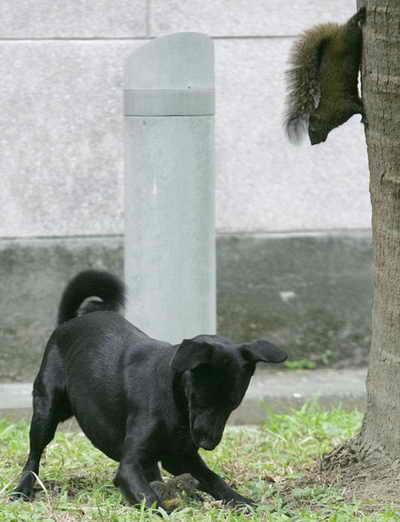 Ошеломляющее решение: Белка готивится к прыжку на собаку, которая напала на ее испуганного детеныша