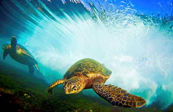 В книгу вошли фотографии морских черепах, которые ныряют и погружаются  в волны прибоя, а также плавно плывут по волнам по направлению к пляжу на Гавайских островах