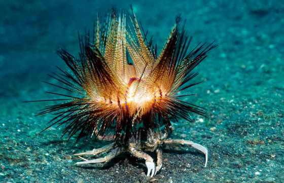 Краб несет морского ежа для защиты от хищников, яркое и необычное фото сделано в проливе Лембех, Северный Сулавеси, Индонезия