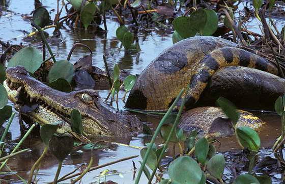 анаконда и крокодил