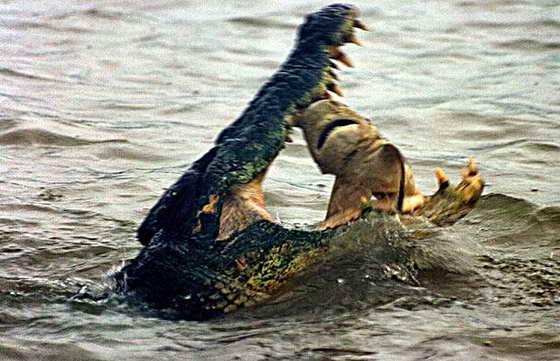 крокодил и акула