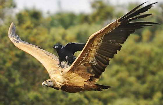 ворона и орел