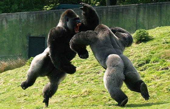 гориллы