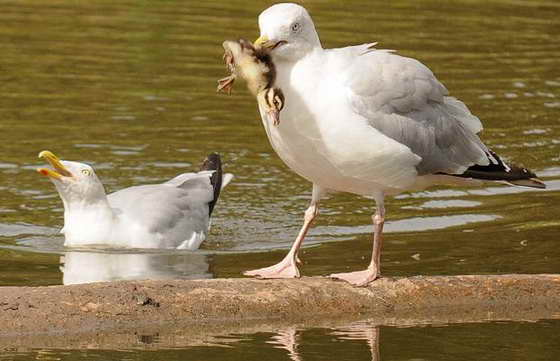 чайка и утенок