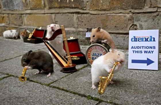 Хомяки как бы настраивают свои музыкальные инструменты и начинают исполнять мелодию
