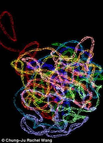 Ядро растительной клетки, представляющее собой сложную структуру белка, похожую на петлии которая образовывается между парными хромосомами при делении клеток, необходимого для репродукции