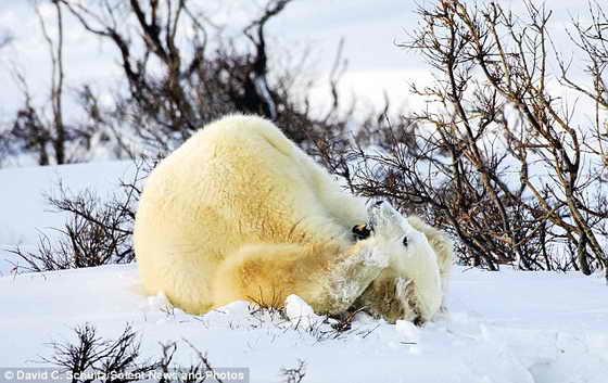 Белый медвежонок начинает резвиться в свежем снежке