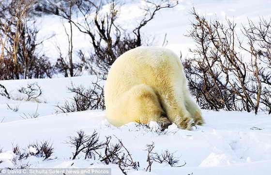 С головой ушел в снег: Медвежонок резвиться в снеге как ребенок