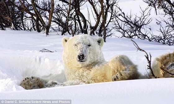 Перевернувшись в снегу, медвежонок продемонстрировал свою заснеженную мордашку фотографу