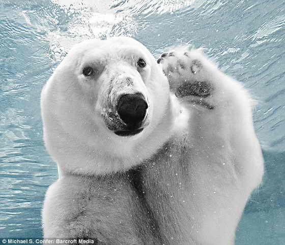 Как поживаете? Белый медведь Колдилокс (Coldilocks) машет в камеру во время ныряний под воду в родном зоопарке Филадельфии