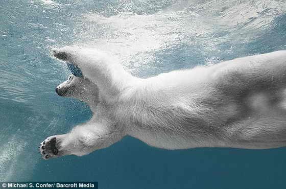 Сама грациозность: 29-летняя белая медведица отталкивается от бассейне с грацией олимпийского пловца