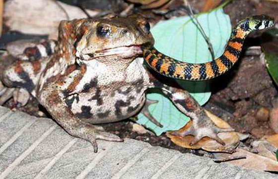 жаба и змея