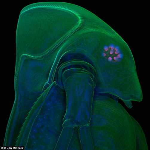 Главный приз: Шикарная оборонительная корона водяной блохи под микроскопом