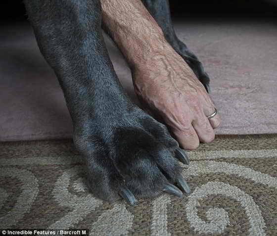 Для сравнения: Рука хозяина огромного дога Дэйва Нэссера кажется лилипутской по сравнению с лапой его любимца