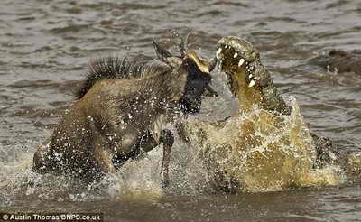 антилопа гну и крокодил