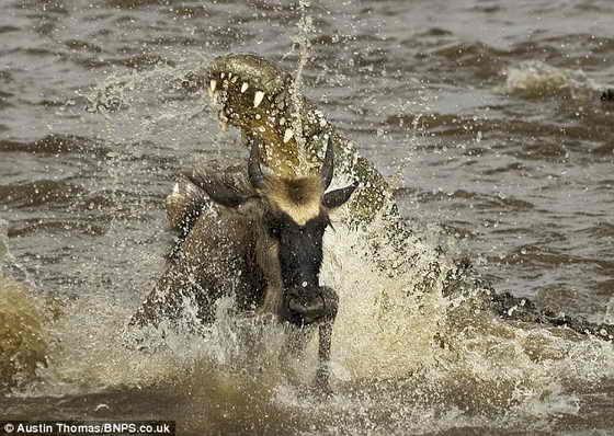 Нападение: антилопа гну и крокодил