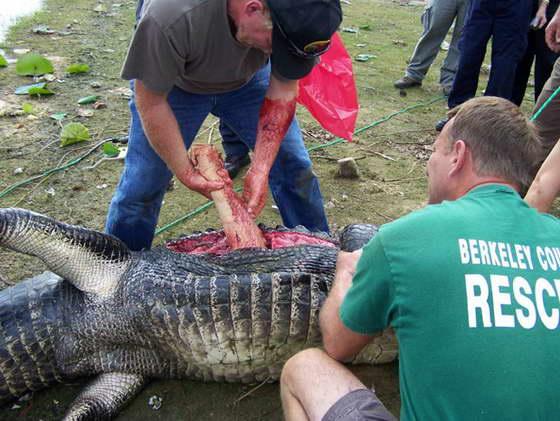 руку вынимают из аллигатора