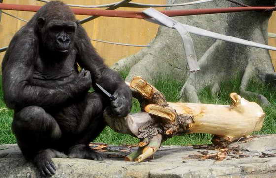 горилла украла нож смотрителя