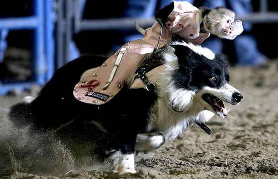 Обезьяна ковбой - номер выступления животных
