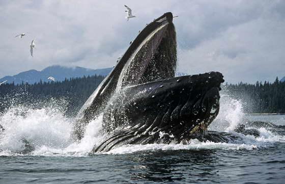 открытый рот кита
