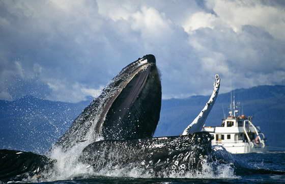 язык кита