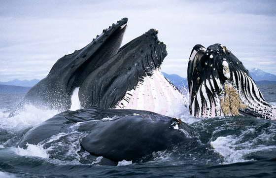 кормление китов