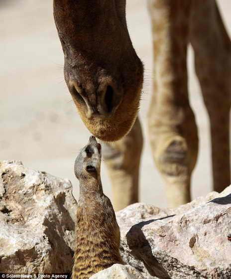 мангуст и жираф