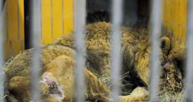Еще ужасней общее состояние тела льва